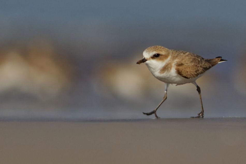 Catwalk on beach. One Animal Bird Animal Themes Close-up Nature Outdoors Plover Natural Phenomenon Tiny Bird Seashore