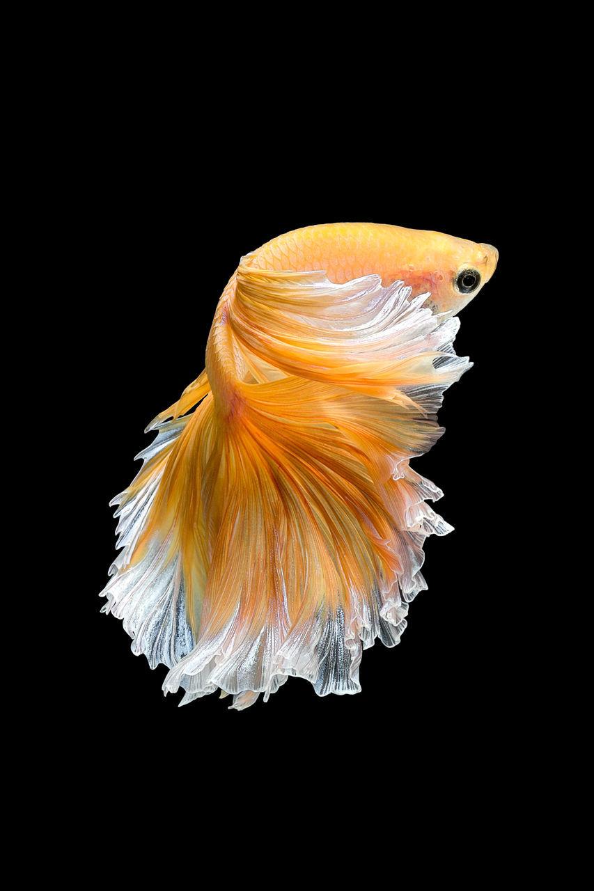 black background, underwater, studio shot, animal themes, sea life, animal wildlife, swimming, one animal, water, fish, animals in the wild, undersea, no people, close-up, nature