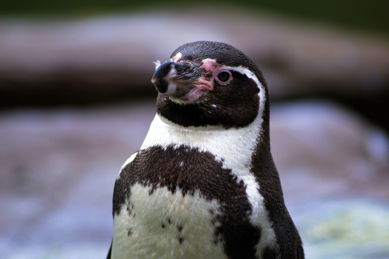 Beautiful stock photos of pinguin,  Animal Wildlife,  Animals In The Wild,  Bird,  Close-Up