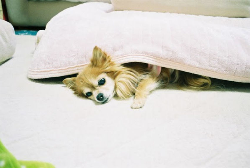 Chiwawa Pentax SpII Fujicolor Industrial 100 Animal Pets One Animal Dog Indoors  No People