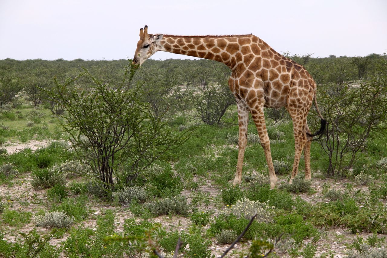 Beautiful stock photos of giraffe, , Animal Themes, Animals In The Wild, Day
