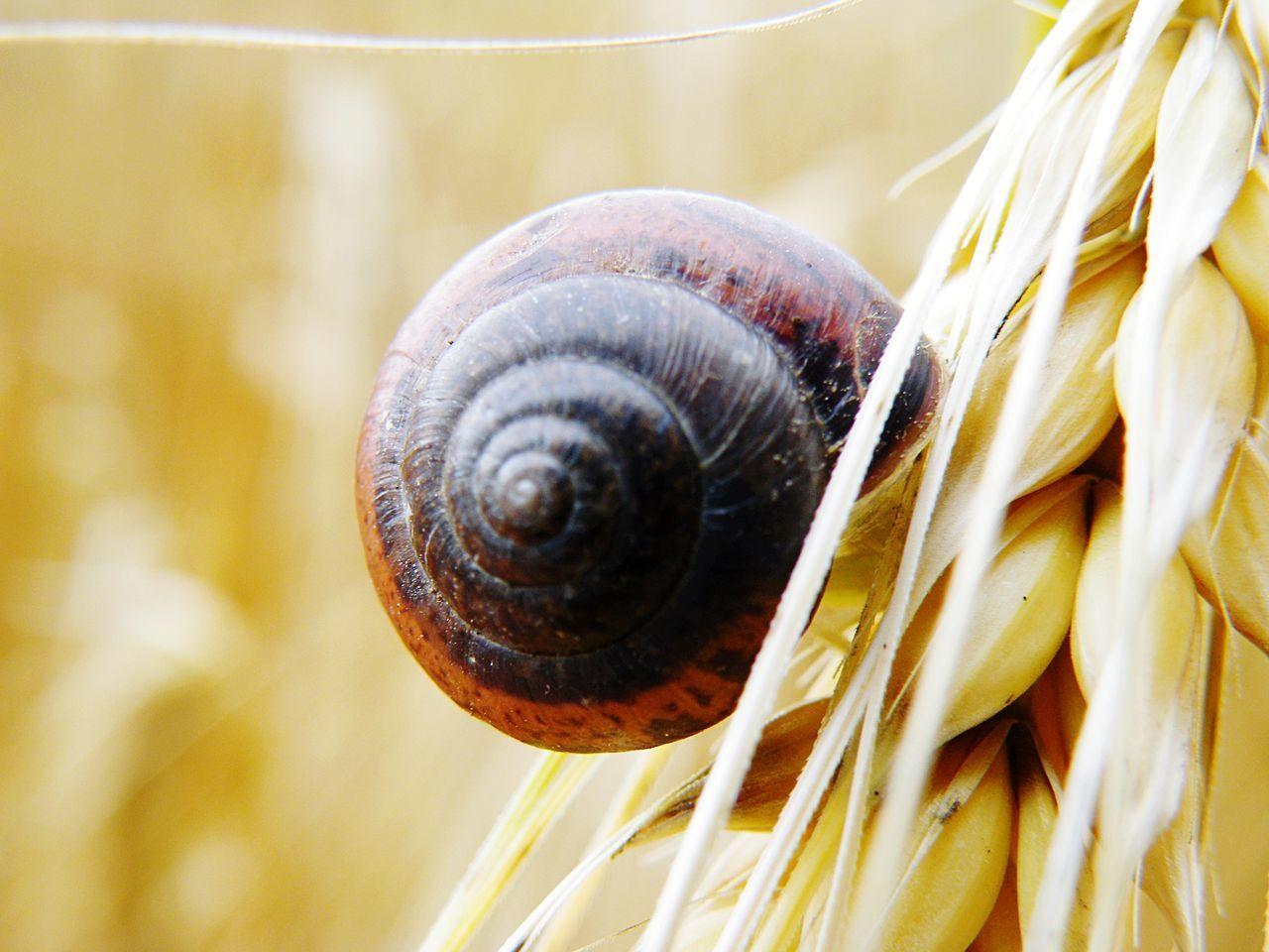 Schnecke Schneckenhaus Schnecken Snails Snails🐌 Getreide Getreidefeld Korn Kornfeld