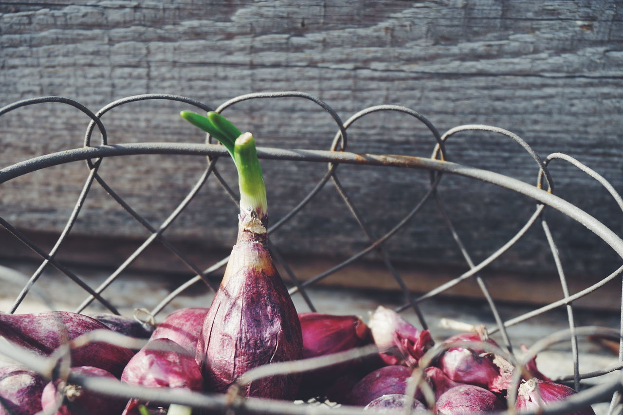 Cultivation and planting of Red onions Close-up Cultivated Cultivation Day Focus On Foreground Food Freshness Growth Growth Process No People Onion Onions Outdoors Plant Planting Red Red Onions Vegetable Vegetables
