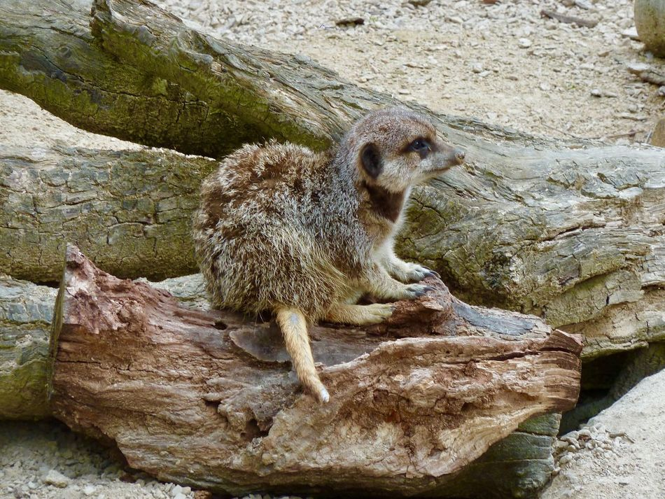 Meerkats Whipsnade Zoo One Animal Animal Wildlife Rock - Object Animals In The Wild Mammal Meerkat No People Sitting Nature Outdoors Day Animal Themes Close-up