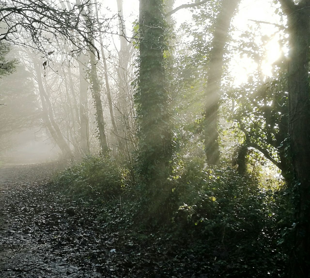 Sunlight streaming onto a woodland path in fog Tree Nature Beauty In Nature Fog Outdoors Woodland Path Woodland Walks Sunlight Through Trees Sunbeams Rays Of Sunshine Winter Walking In The Woods Winter Woodland No People Day First Eyeem Photo