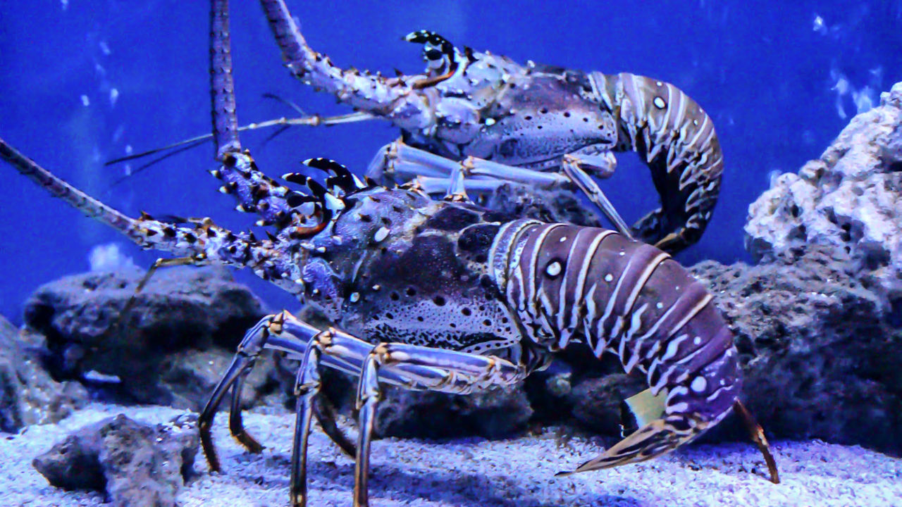 Beautiful stock photos of lobster, Animal Themes, Animal Wildlife, Animals In The Wild, Aquarium