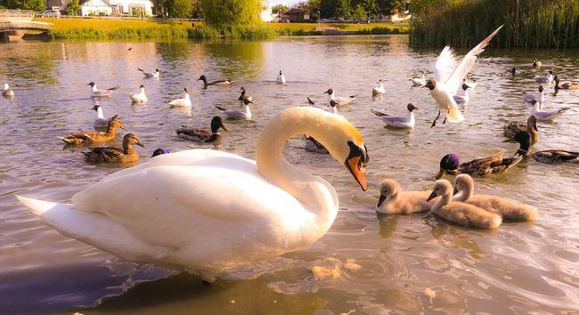 'Mama Watching Out' Osloswans❤️ Oslo2016✨ Birdlife🕊 Taking Photos IPhoneography Summertime AndTheLivingIsEasy Urbannature Pond VikingSwans❤️ Summer2016✨ Enjoying Life Urbex Oslo, Norway KariJosefiné✨