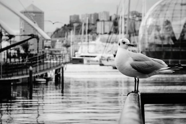 My city, Genova, Italy Shades Of Grey Blackandwhite Seagull Taking Photos Eye4photography  Open Edit From My Point Of View Black And White