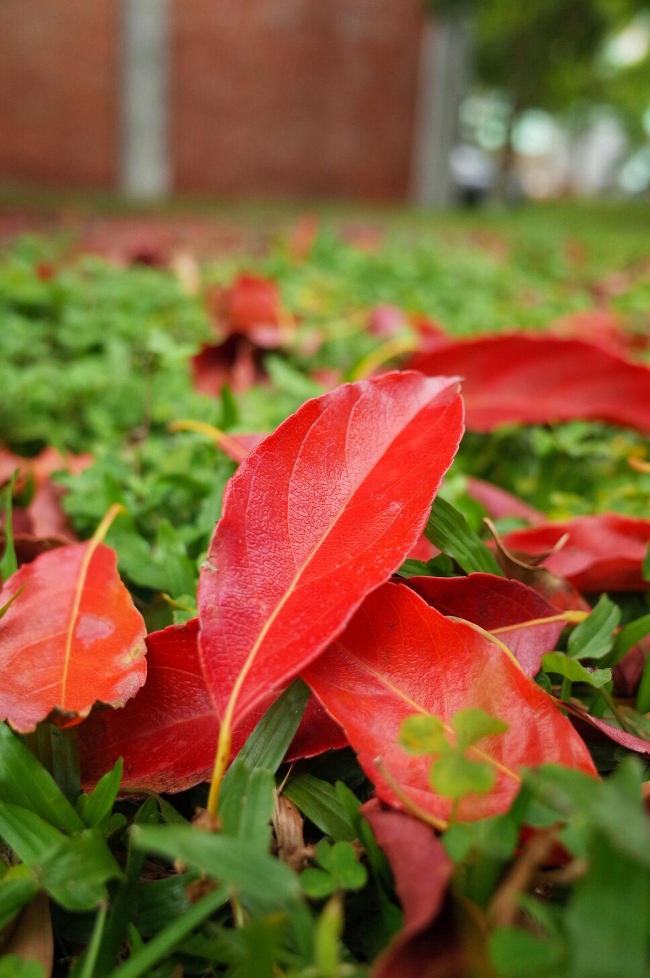 春天的紅葉 Fallen Leaves Red Leaves Spring Leaves Trees