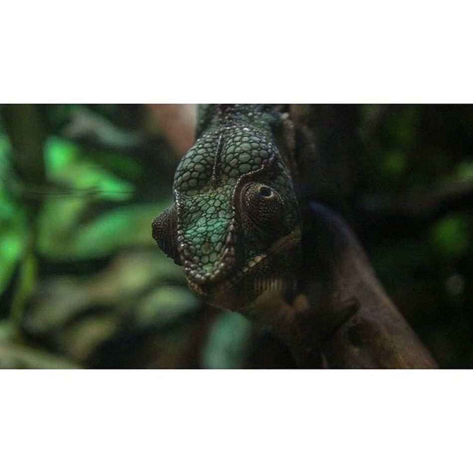 Chameleon that was at @blueplanetaquarium Chameleon Reptile Animal Chilling Theyneedtocleantheglass Blueplanetaquarium