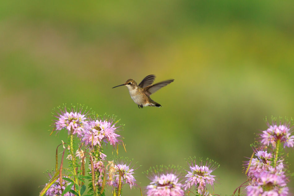 Hummingbird in flight Animals In The Wild Nature Flower Hummingbird Bird Flying Hovering Motion Animal Themes One Animal Animal Wildlife Beauty In Nature Rocky Mountain Bee Flower Hummingbirds Purple Flowers Wildflowers Animals Green Birds Hummingbirds Flowers Beauty In Nature No People