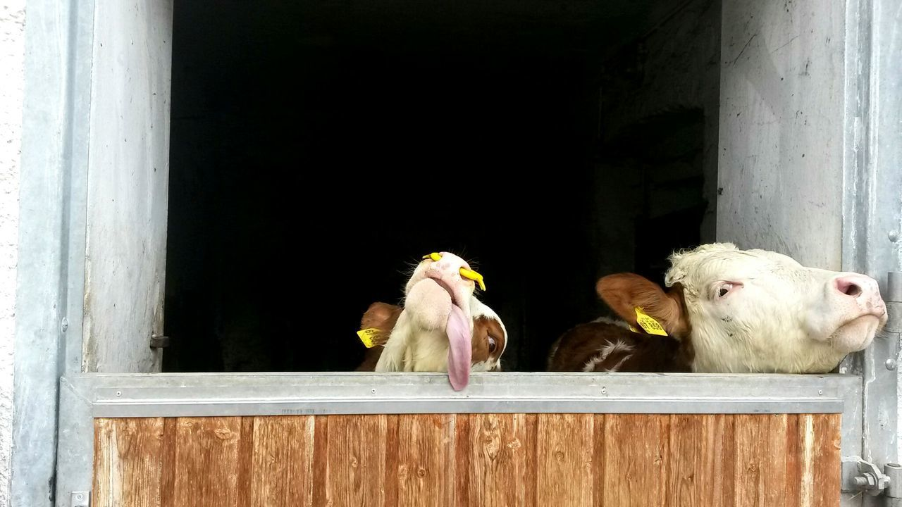 Animals Posing Tongue Out Tongue Action Tongue Cows Cowlover Cows Head Cows Shed Cows Saying Hello Rinderwahn Crazy Moments Sceptical Look Farm Life Farm Animals She's Got The Look Farmer's Life Animal Portrait Animal Love