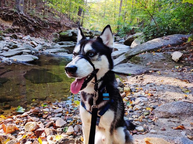 Husky hike. Animal Themes One Animal Domestic Animals Mammal No People Dog Outdoors Pets Water Close-up Nature Leaf Day Siberian Husky