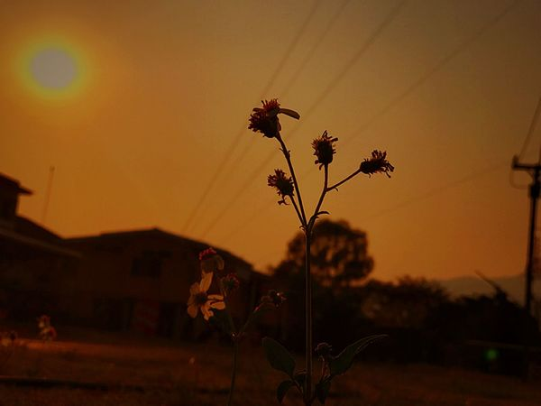 The Last Sunshine Evening Sunset Evening Light Evening Sun Evening View Lieblingsteil Flower Growth Sunset Fragility Nature Plant Close-up No People Beauty In Nature Outdoors Building Exterior Freshness Sky Tree Flower Head Silhouette Beauty In Nature Field Last Sunset