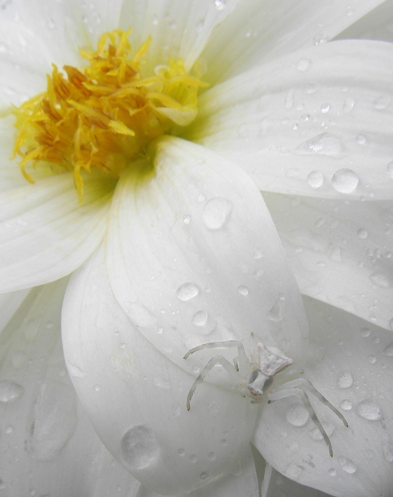 Flower Freshness Petal Flower Head Nature Beauty In Nature Wet Water Close-up Drop No People Dew Plant White Background Crab Spider Macro Total White White Dahlia Mimetism Yellow Outdoors Purity Day No Filter EyeEmNewHere