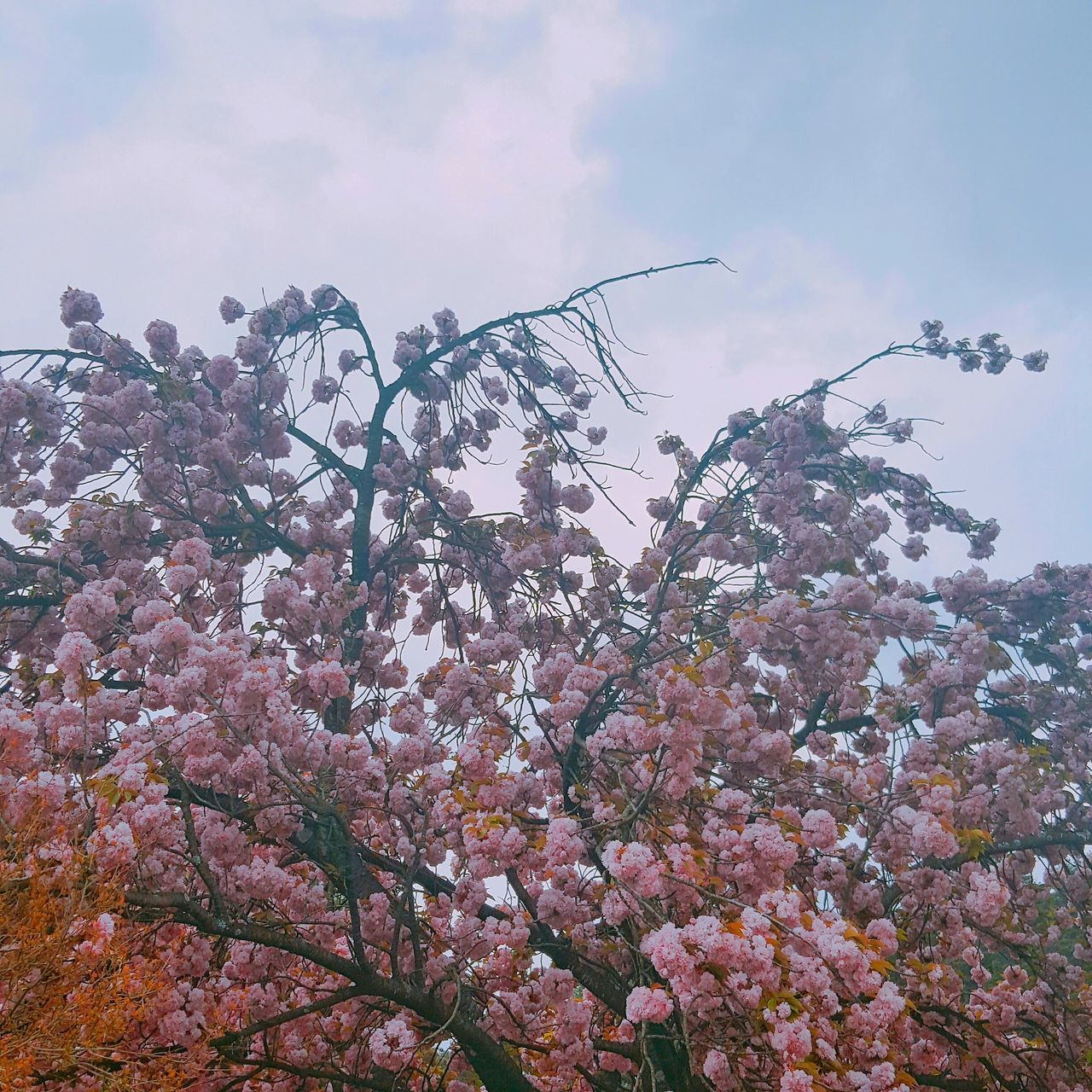 beauty in nature, tree, nature, low angle view, flower, sky, growth, no people, day, outdoors, fragility, blossom, branch, freshness, springtime, cloud - sky, tranquility, scenics, close-up