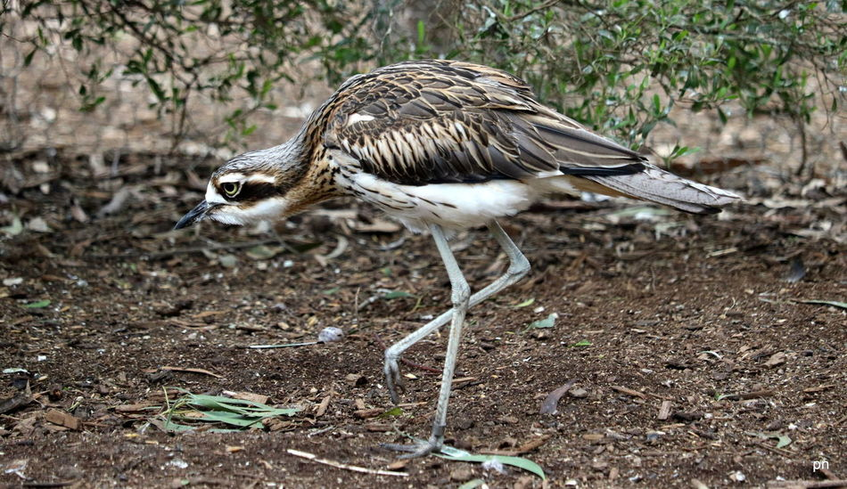 Bush Stone Curlew Animal Animal Head  Beauty In Nature Bird Bush Stone Curlew Close-up Creeping Curlew Day Feather  Feathers Focus On Foreground Grass Ground Legs Nature No People Outdoors Plant Selective Focus Stalking Tranquility Twig