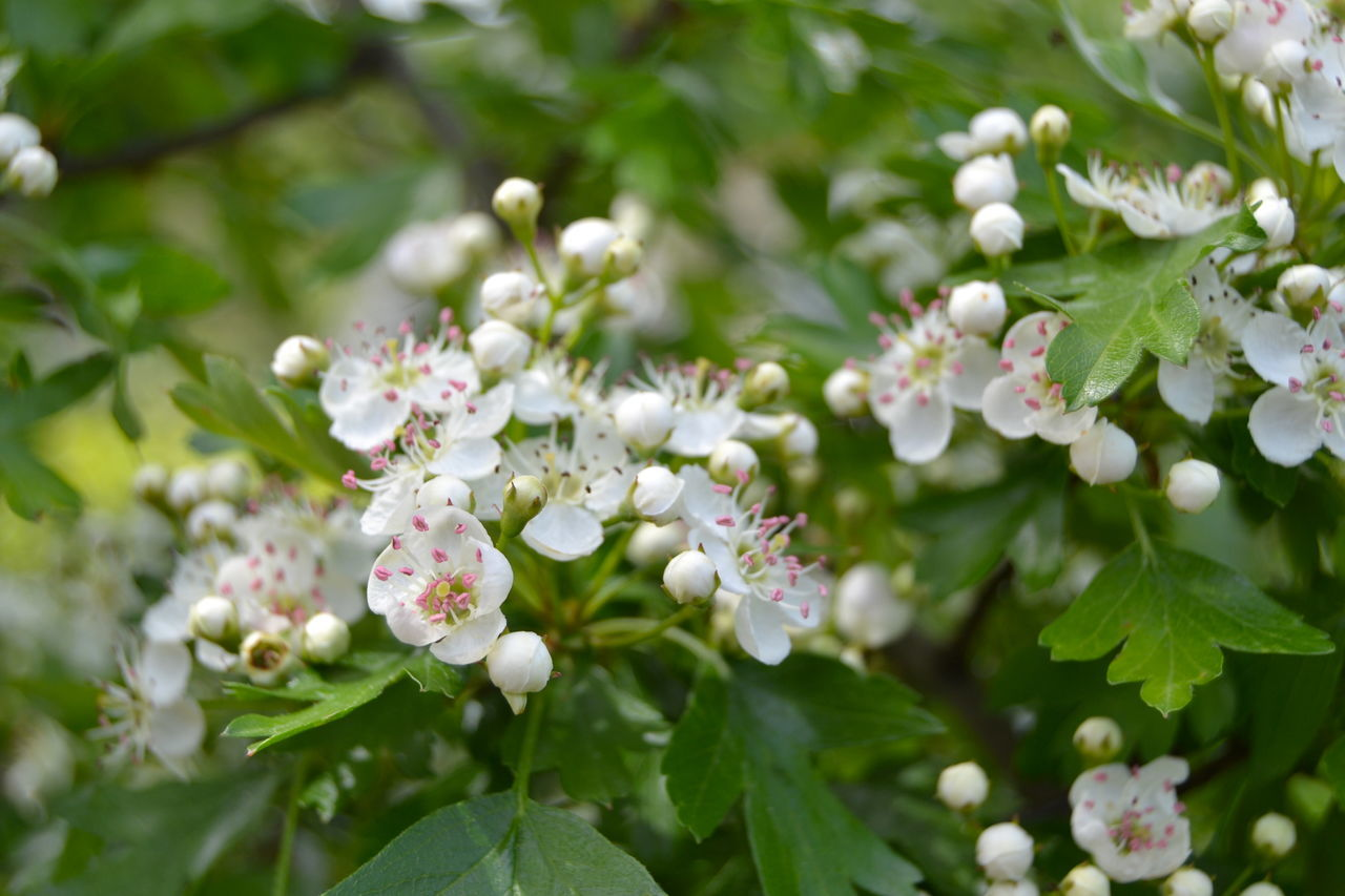Beauty In Nature Blooming Blossom Close-up Day Flower Flower Head Fragility Freshness Green And White Growth Hawthorn Hawthorn Blossom In The Garden Leaf Medicinal Plants Nature Nature_collection Nature_perfection Naturelovers No People Outdoors Plant Springtime White Blossoms