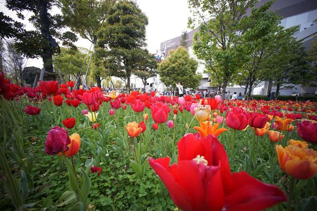 チューリップ Tulips🌷 Tulip Flower Flowers Flowerporn Flowers, Nature And Beauty Nature Nature_collection Nature Photography EyeEm Best Shots - Flowers EyeEm Best Shots - Nature EyeEm Best Shots EyeEm Nature Lover People Watching Super Wide Angle 広角機動隊 Low Angle View Snapshot Taking Photos Walking Around お写ん歩