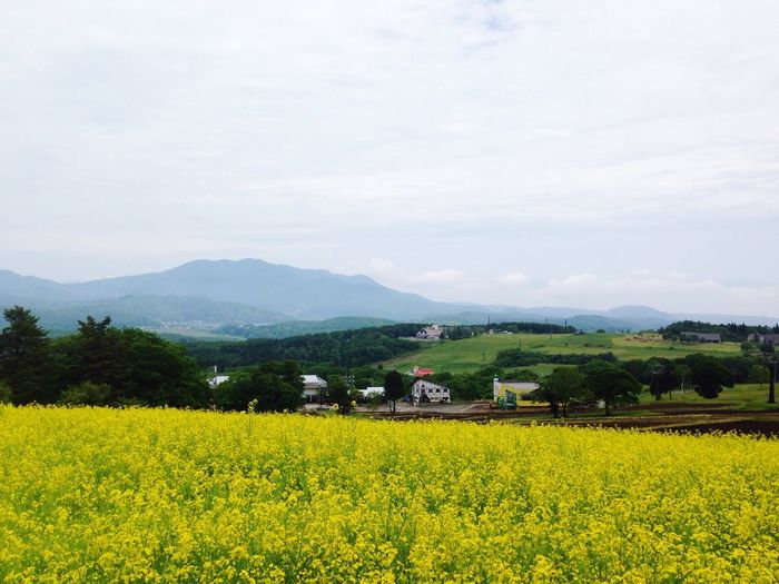 Flowers Garden Spring Countryside IPhoneography Japan Nagano, Japan Plateau Yellow Flowers Kurohime Plateau