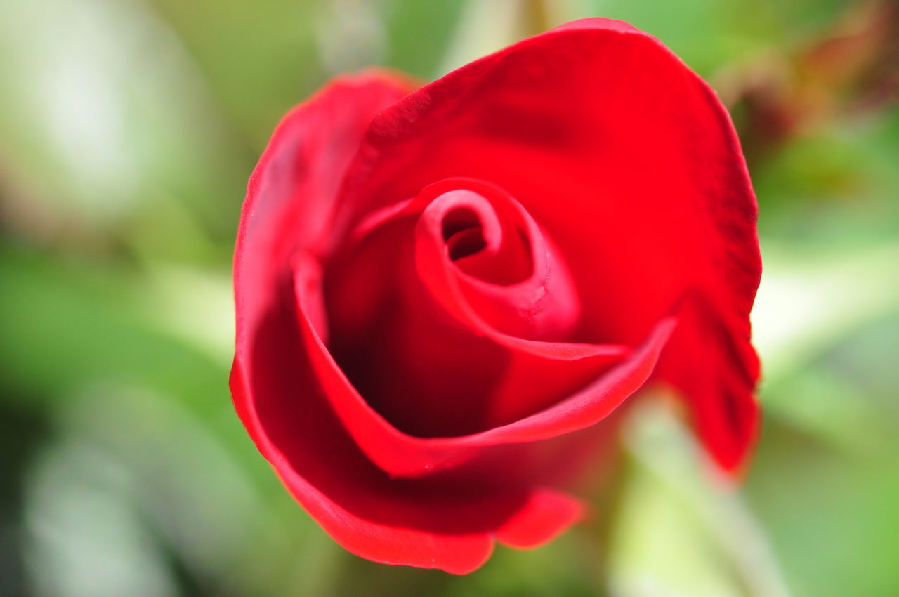 flower, nature, petal, red, rose - flower, beauty in nature, fragility, flower head, freshness, close-up, growth, no people, focus on foreground, plant, outdoors, blooming, day