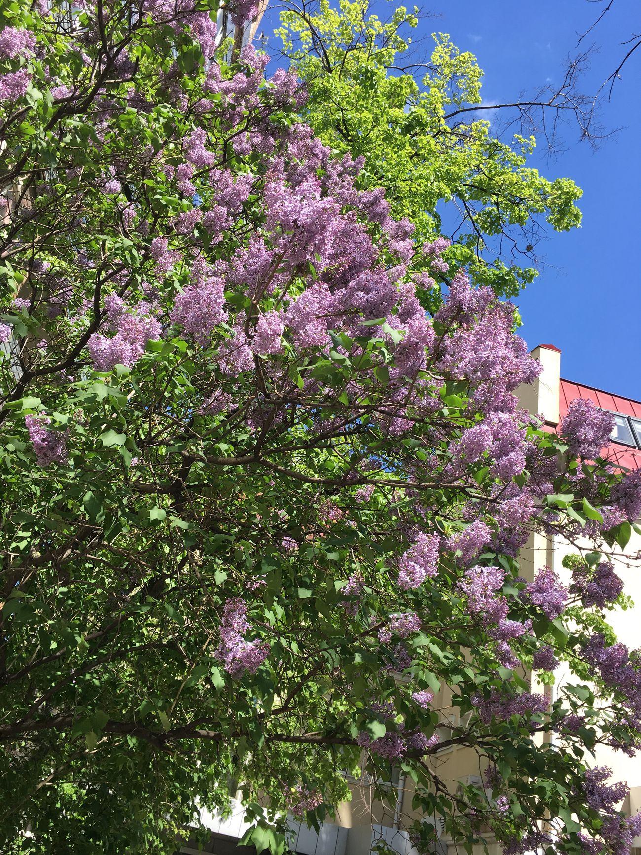 весна май серень расцвел Москва