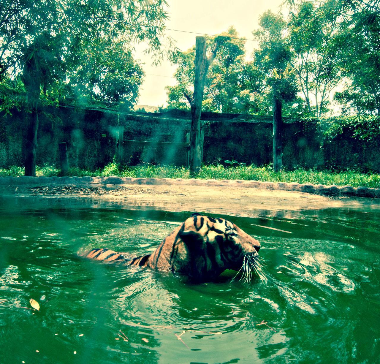 Harimau Malaya Animal Themes Animals In The Wild Day Malayan Mammal Nature No People Outdoors Panthera Tigris Jacksoni Swimming Tree Water