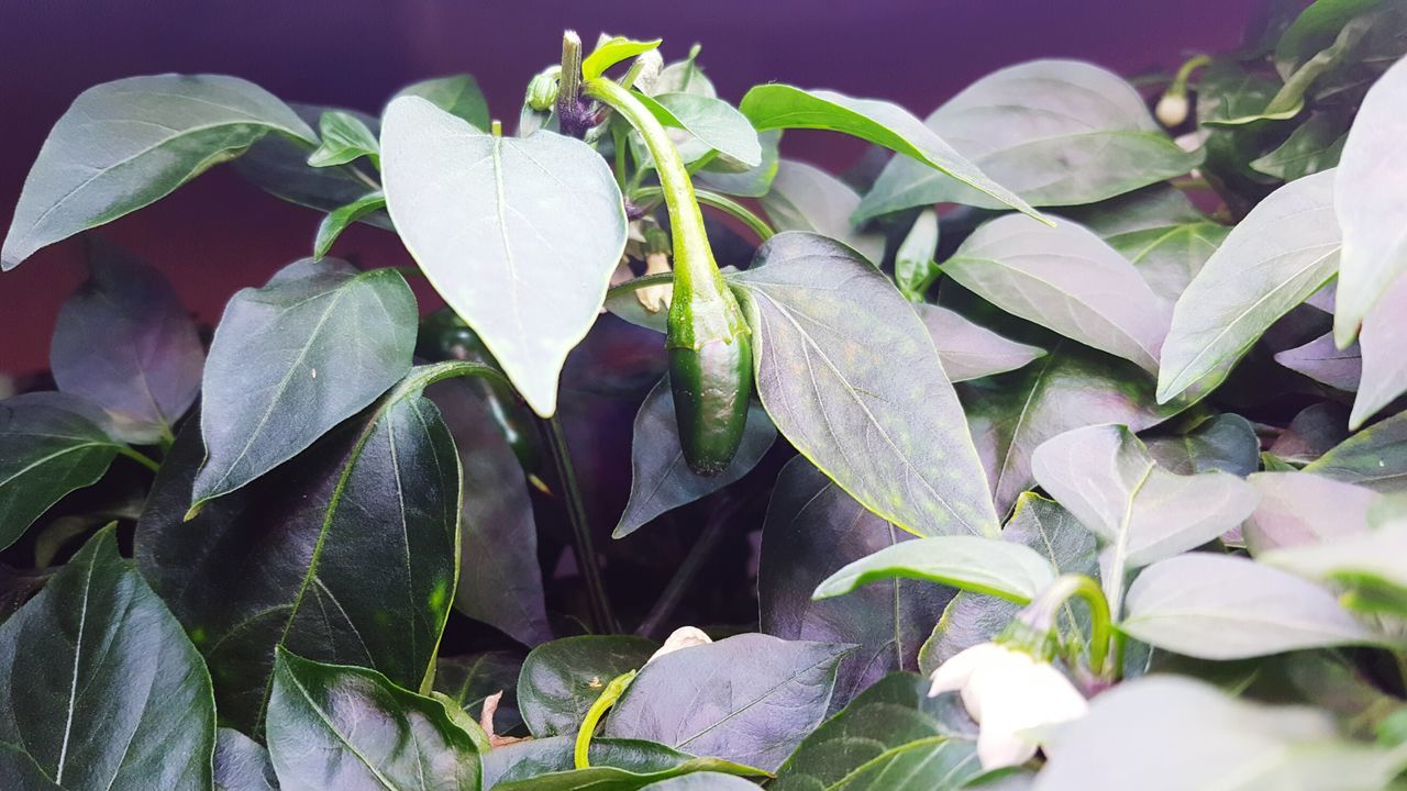 Leaf Plant Growth Freshness Close-up Green Color Fragility Nature Full Frame Beauty In Nature Green Day Large Group Of Objects Botany Abundance Petal Springtime Blossom Growing In Bloom Peppers Jalepeno Jalepeno Indoor Gardening Aerogarden