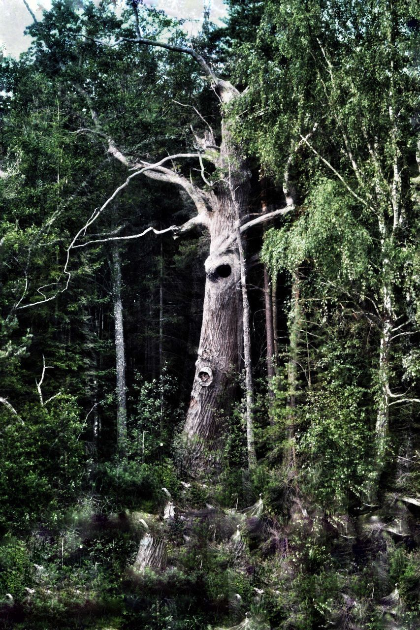 tree, tree trunk, forest, nature, woodland, no people, day, growth, outdoors, branch, beauty in nature