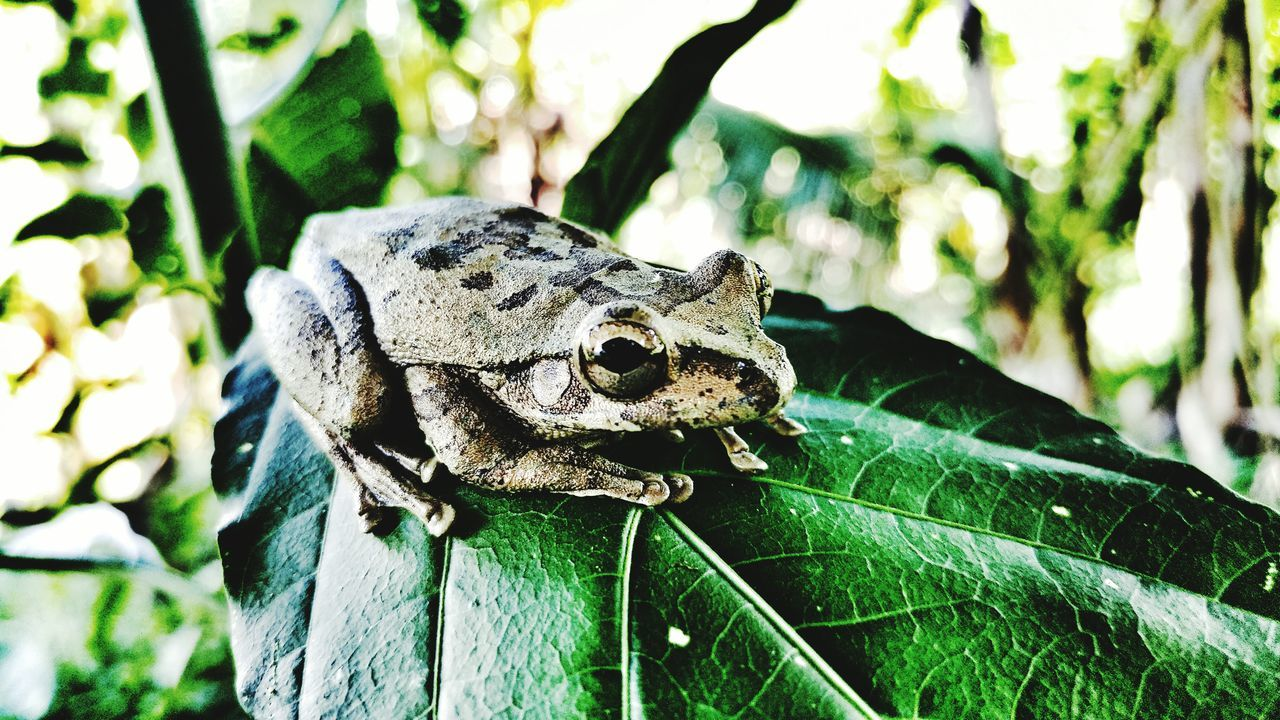 One Animal Animal Wildlife Animals In The Wild Day Outdoors Close-up Animal Themes Leaf Nature No People Green Color Frog
