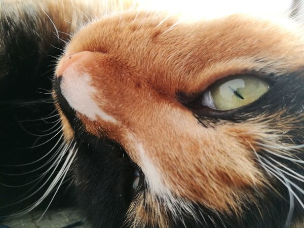 Calico Cat Eyes Close-up Looking At Camera Whisker Animal Body Part Domestic Cat No People Animal Head  Portrait Cat Cute Love Cat Relaxation Sleepy Sunlight Fur Animal Themes Pets One Animal Domestic Animals Mammal Feline Indoors  Day