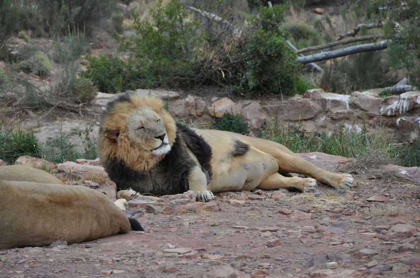 Animal Themes Animal Wildlife Animals In The Wild Aquila Game Reserve Day King Lion Mammal Nature No People Outdoors Relaxation Sleepy