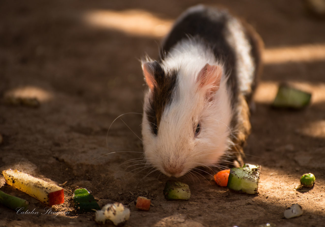 Beautiful stock photos of guinea-pigs, Animal Themes, Animal Wildlife, Animals In The Wild, Close-Up
