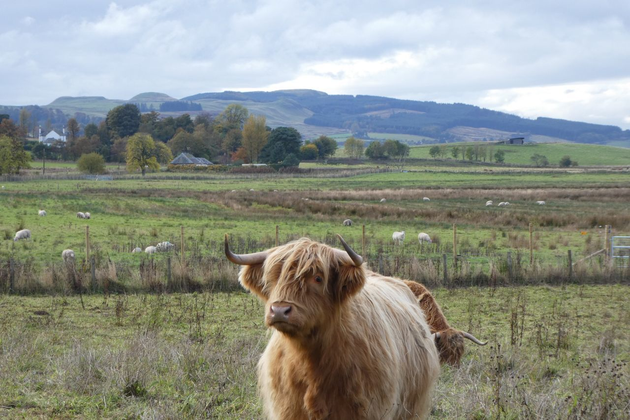 Domestic Animals Grass Livestock Animal Themes Mammal Cow Cattle Sky Domestic Cattle Nature Mountain Field Mountain Range One Animal Cloud - Sky Green Color Landscape Agriculture No People Rural Scene Highland Cattle Highland Cow Scotland Loch Leven