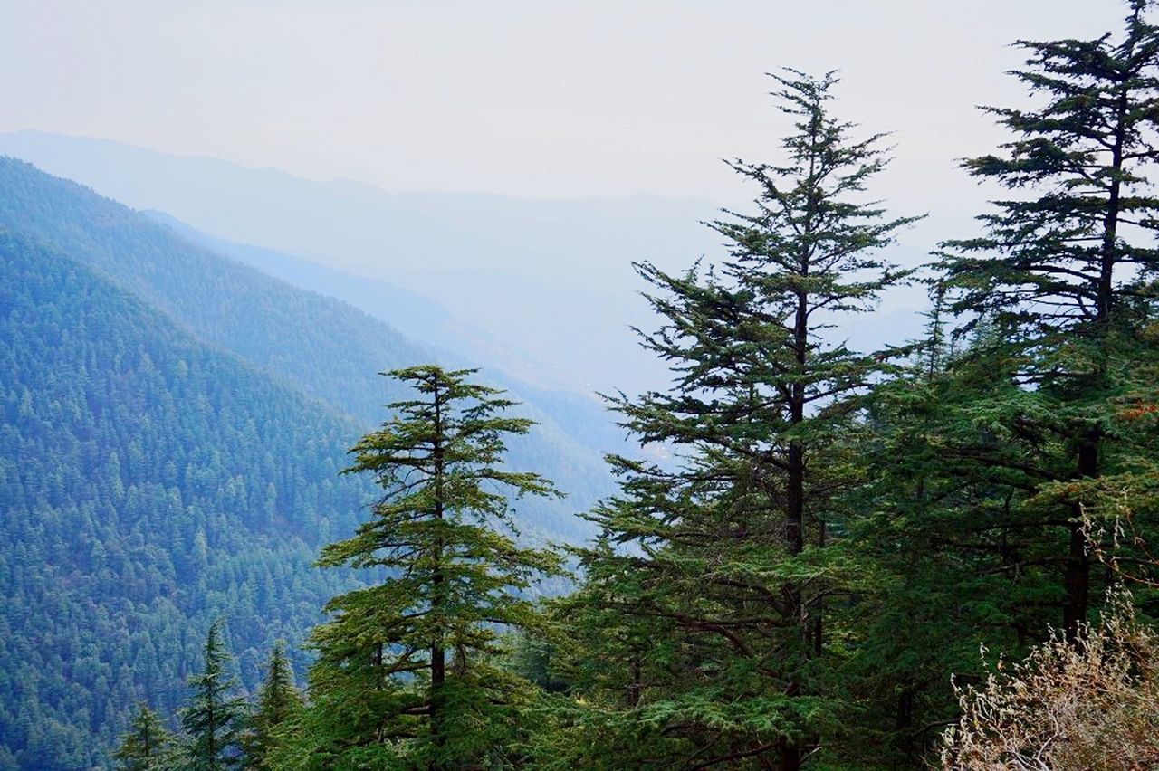 ShimlaDiaries Forest Pine Tree Pine Woodland Mountain Landscape Evergreen Tree Nature Mountain Range Beauty In Nature Coniferous Tree Outdoors Winter No People Sky Day Pine Wood Pinaceae Tree