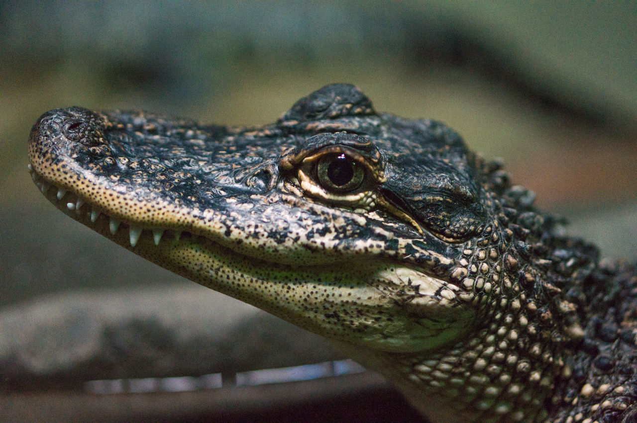 Animal Eye Animals Crocodile Nature Reptile Wildlife Market Reviewers' Top Picks