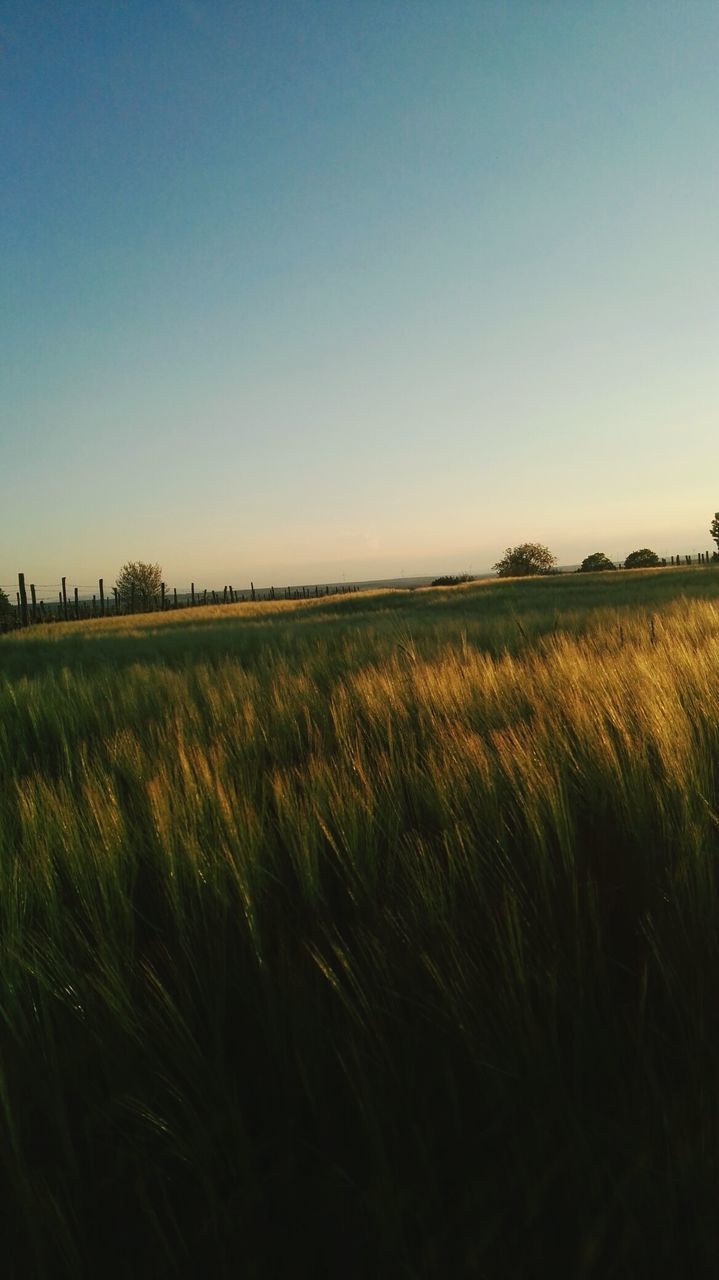 field, agriculture, nature, landscape, clear sky, growth, tranquil scene, farm, tranquility, crop, rural scene, beauty in nature, scenics, no people, grass, outdoors, cereal plant, sky, wheat, day