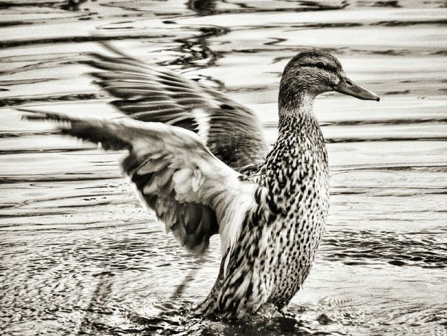Black And White Black & White Monochrome B & W  EyeEm Best Shots Showcase March Birds Nature Animals Nature_collection Nature Photography Capturing Movement Flap Wings Wingspan Duck Wildlife & Nature Wildlife Check This Out Nature_perfection This Week On Eyeem
