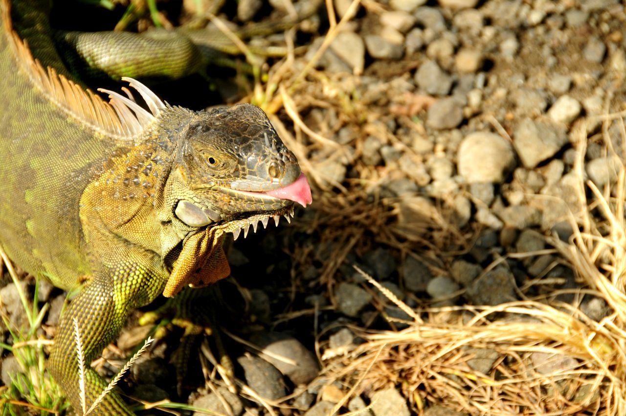 Iguana sticking out its Tongue Muelle Costa Rica (c) 2015 Shangita Bose All Rights Reserved Snbcr The KIOMI Collection Nature's Diversities Girl Power