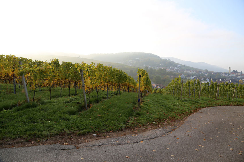 The vineyards of Varnhalt in the mild autumn sun in the morning Beauty In Nature Clear Sky Country Road Countryside Day Footpath Grass Green Growing Vine Landscape Mountain Mountain Range Nature Outdoors Road Sky Solitude The Way Forward Tranquil Scene Tranquility Tree Varnhalt Vineyard Vineyards