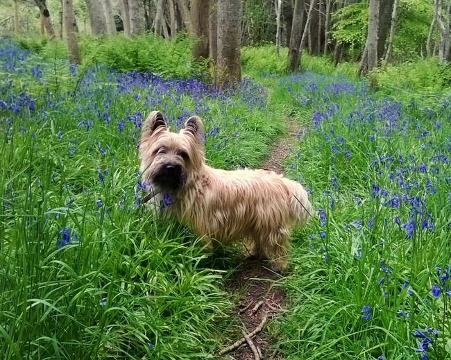 Scottish bluebells; Scottish dog. Summer Flowers Cairn Dog Culloden In The Forest Nature_collection Animal_collection Woodlands Bearded