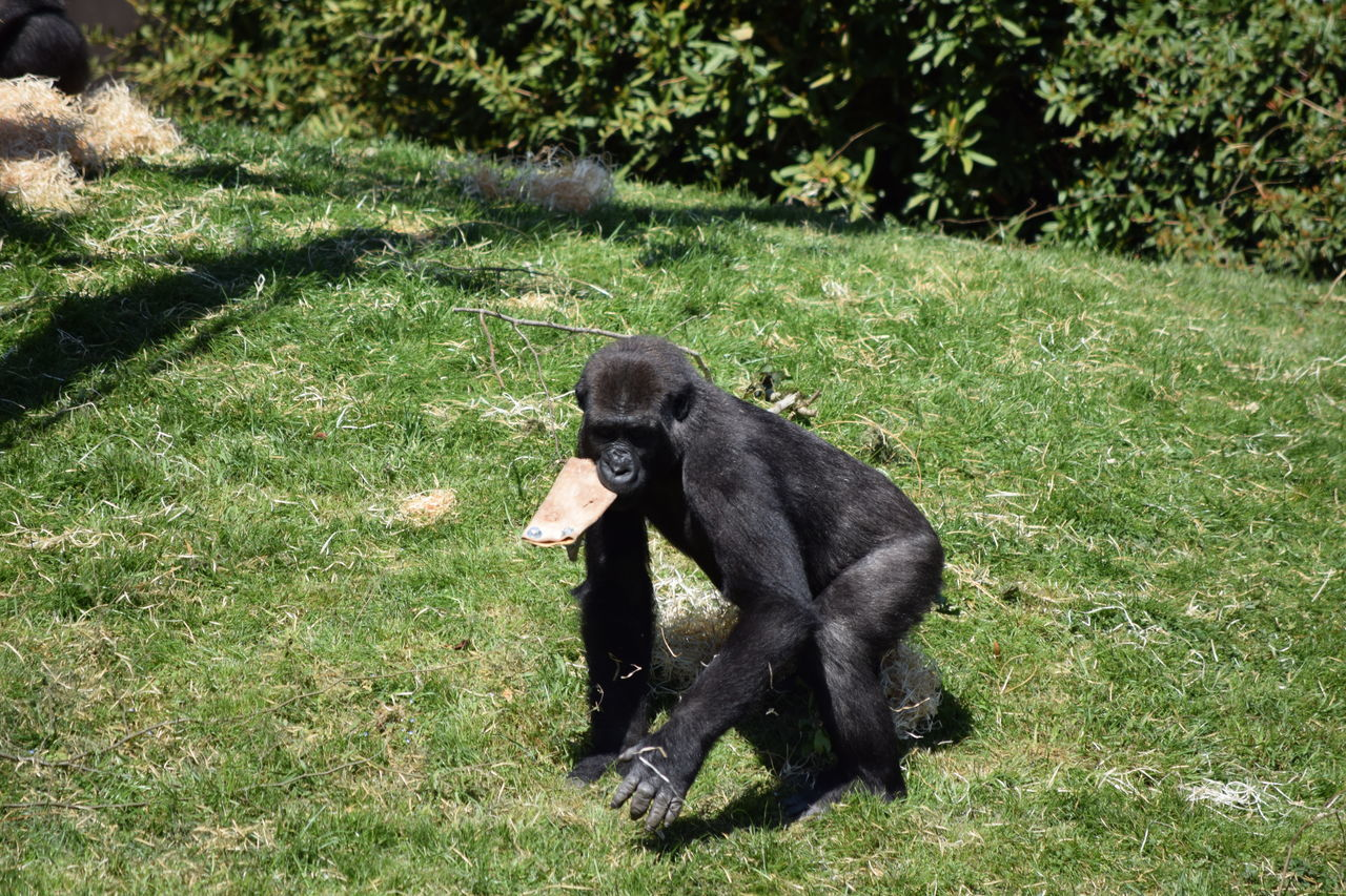 gorilla Animal Themes Beauval Black Color Day Domestic Animals Female Field Gorilla Gorille Grass Green Growth Male Mammal Monkey Nature No People One Animal Outdoors Power Primate Sitting Strong Zoo