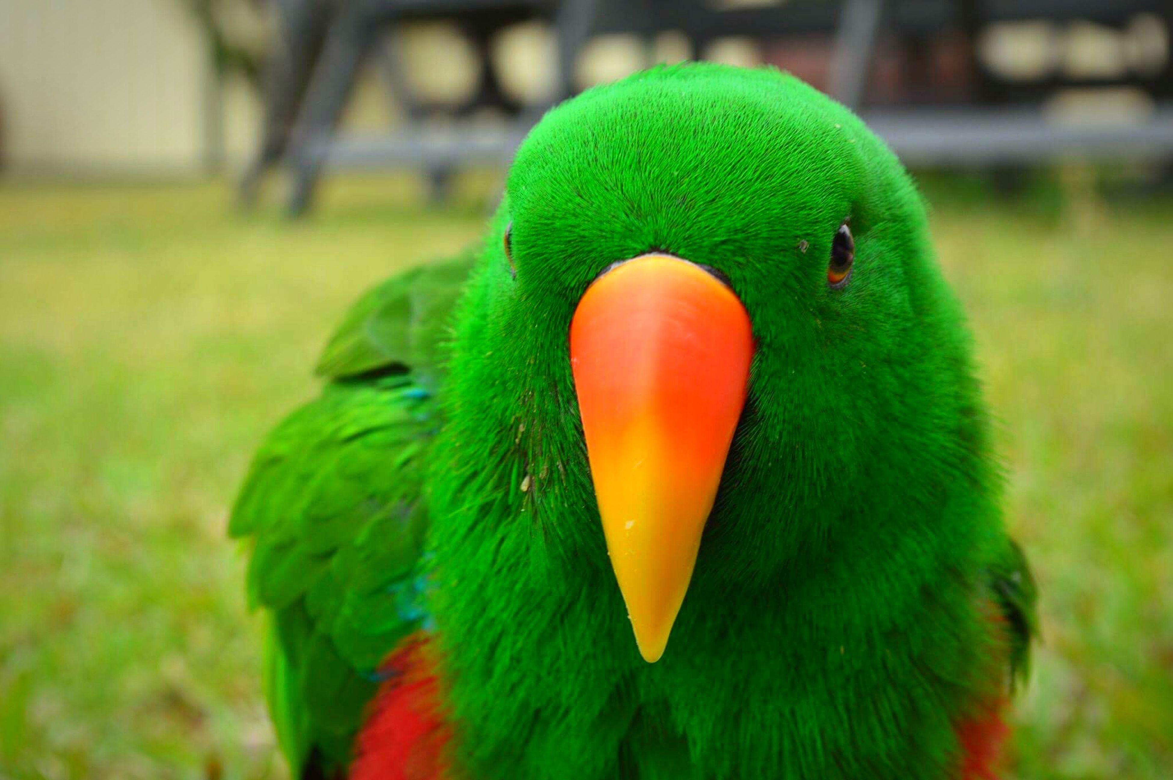 bird, animal themes, focus on foreground, beak, close-up, animals in the wild, green color, animal wildlife, one animal, nature, no people, parrot, outdoors, day, grass, beauty in nature