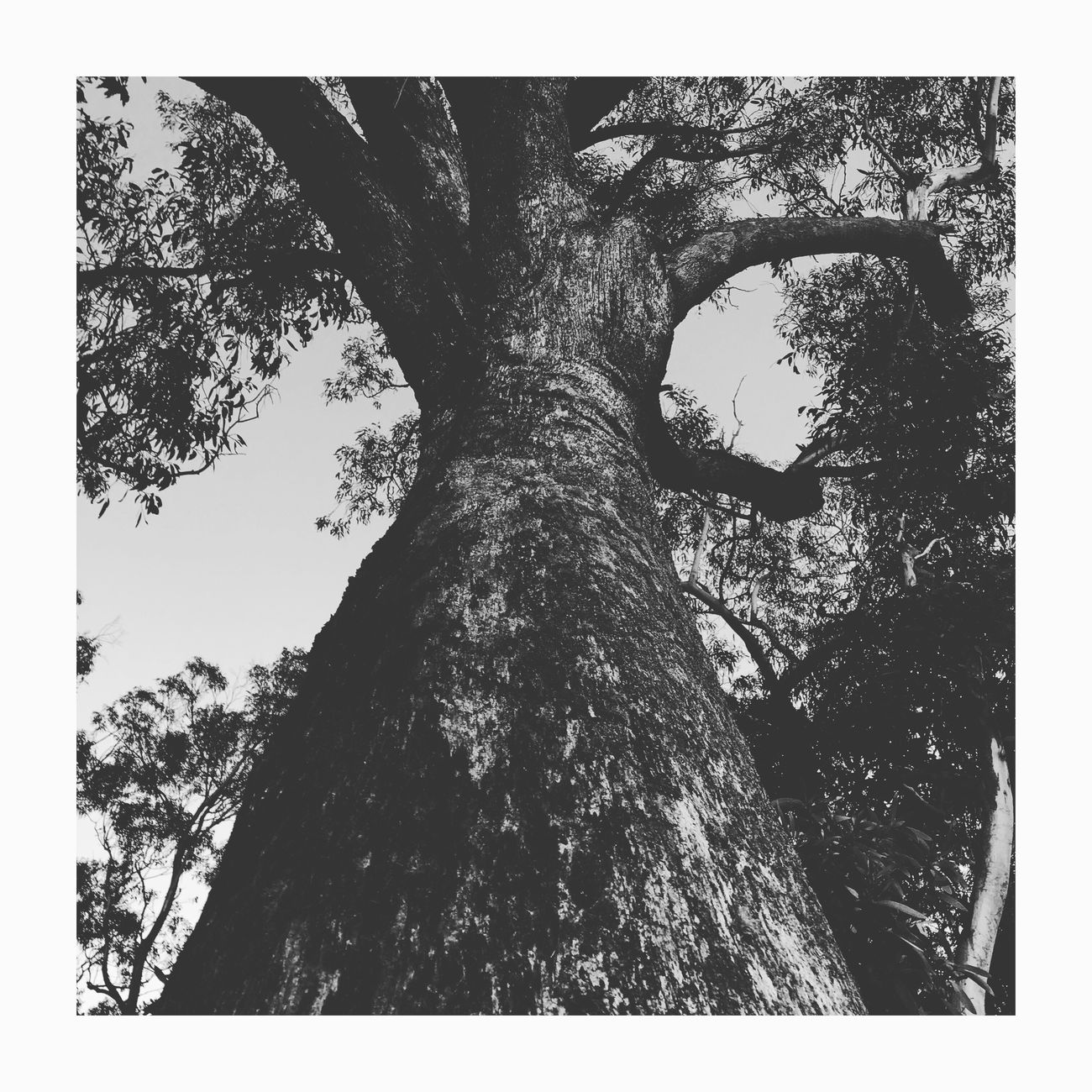 Tree Nature IPhoneography