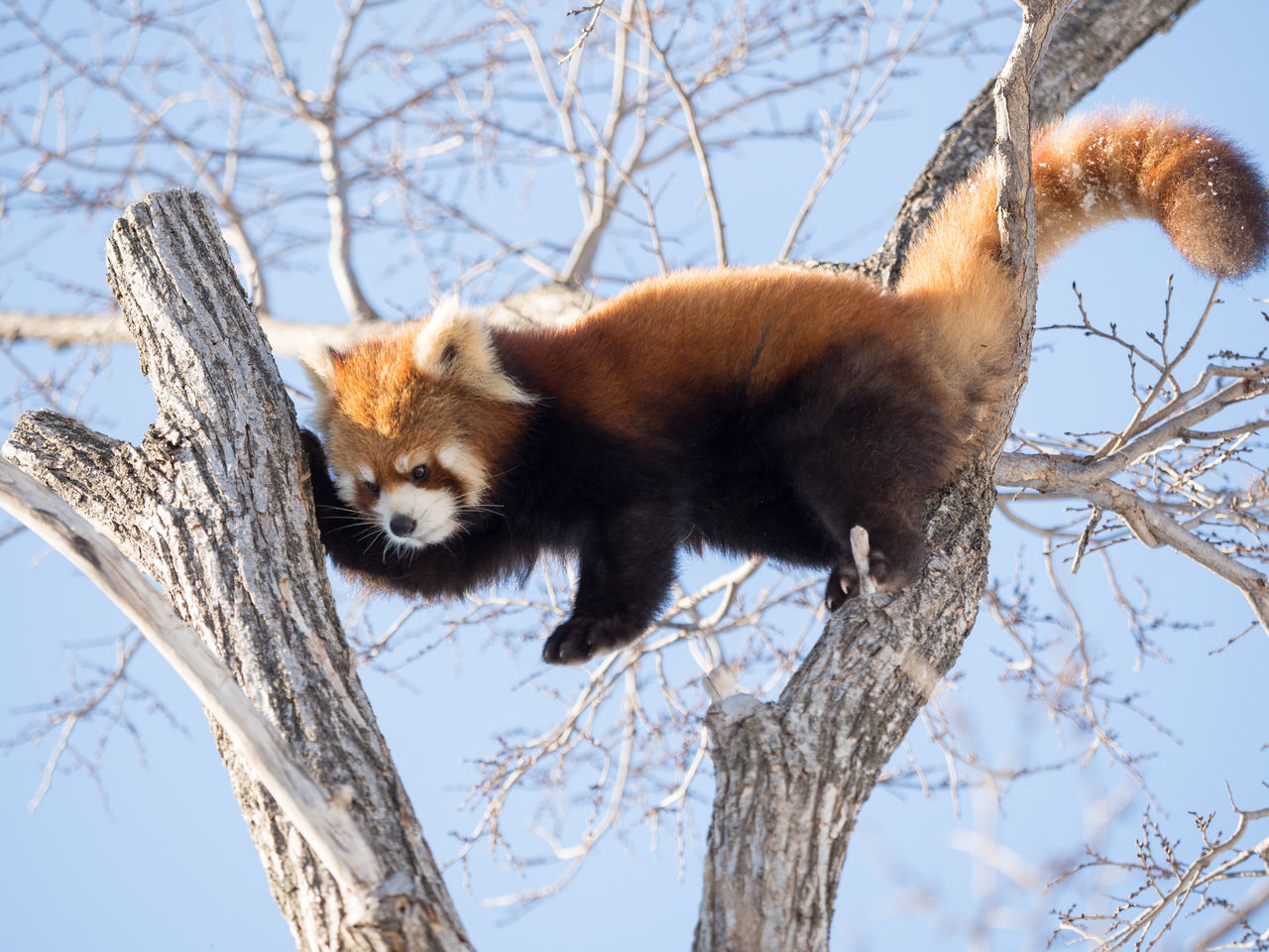 Ailurus Fulgens Animal Themes Animal Wildlife Animals In The Wild Bare Tree Beauty In Nature Branch Cold Temperature Day Lesser Panda Low Angle View Mammal Nature No People One Animal Outdoors Red Panda Sky Snow Tree Winter Zoo