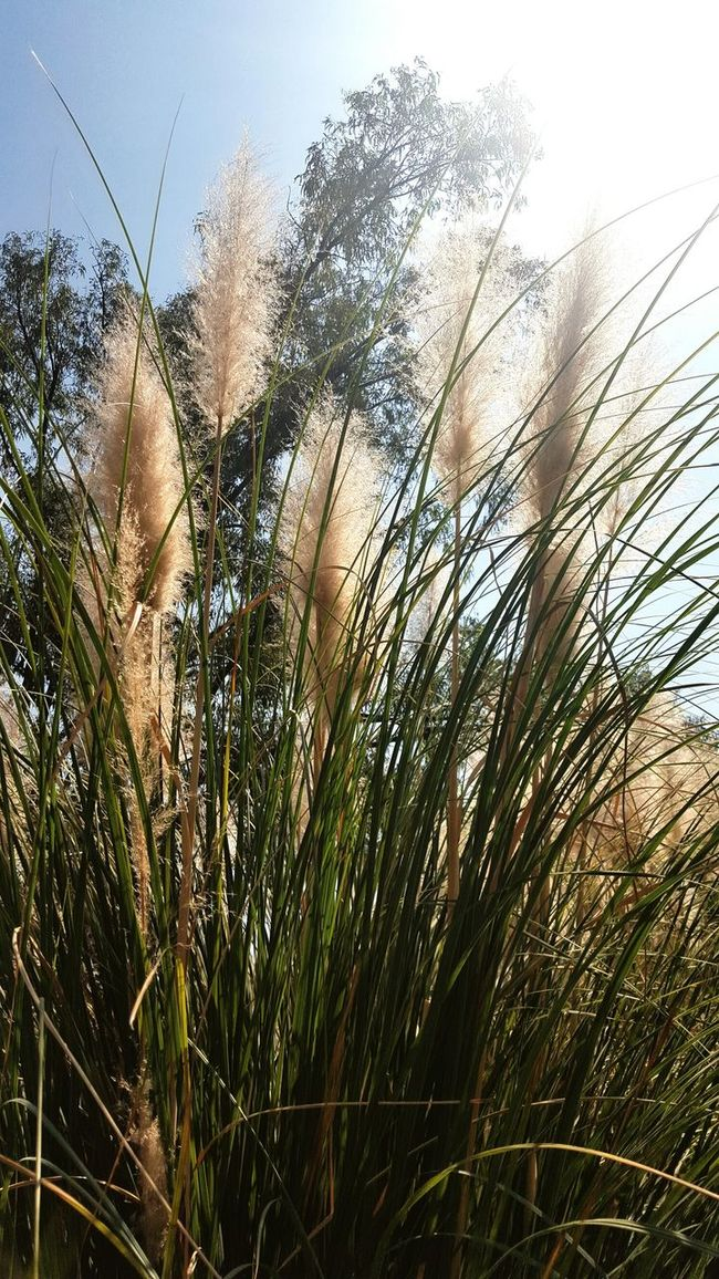 Plants And Flowers Close-up Nature_collection Foxtail
