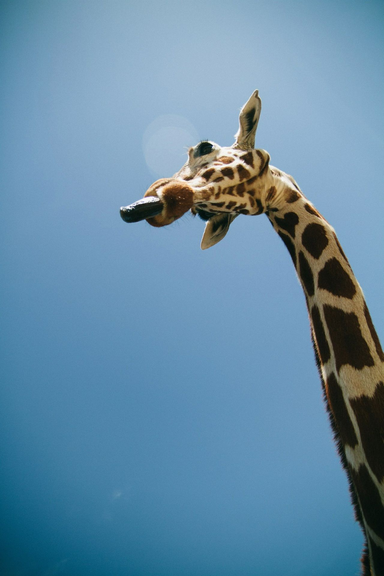 Beautiful stock photos of giraffe, , Animal Themes, Clear Sky, Coppell