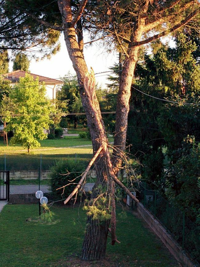 Broken Tree Maritime Pines Garden Branch