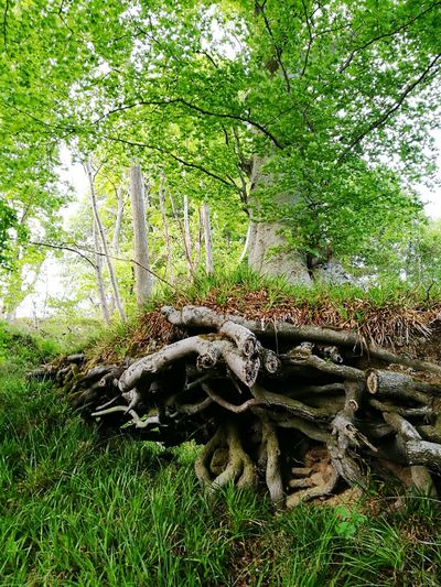 Tree Wood Exposed Roots Nature Beauty In Nature Green Color No People Outdoors