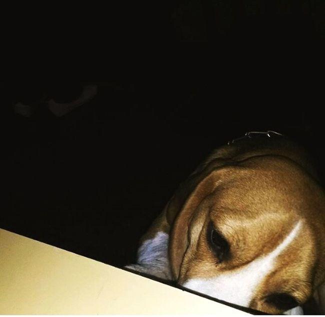 Mydog Beagles  Beaglelovers Dog Beagledog Puppy PuppyLove Puppylife Beaglelife Beagleworld